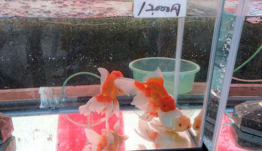 江戸川区金魚まつりはたくさんの金魚を見るだけでも楽しめる楽しいお祭り